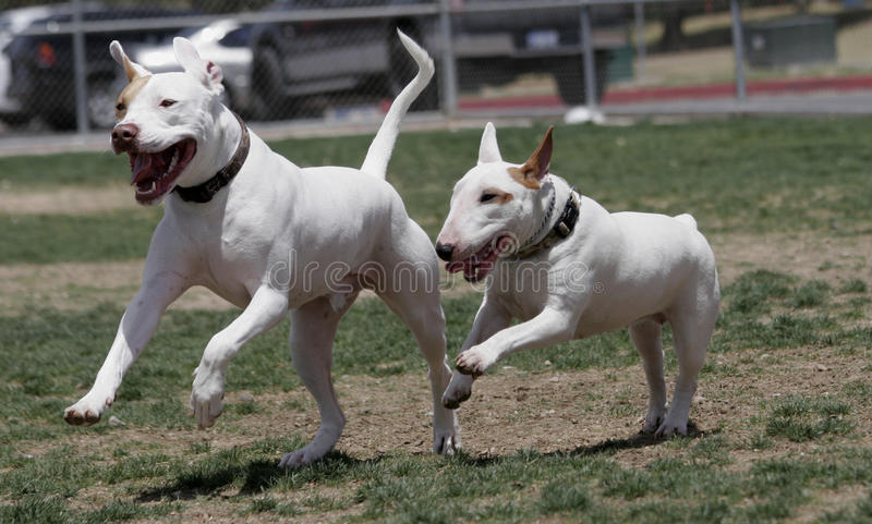 Pitbull och leka för tjurTerrier royaltyfri fotografi