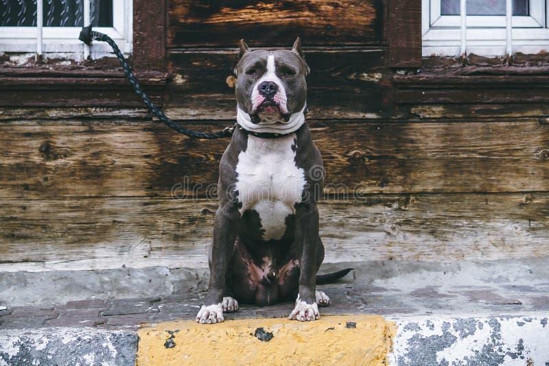 Pitbull på en koppel fotografering för bildbyråer