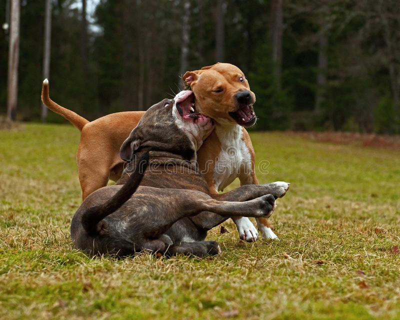 Pitbull play fighting with Olde English Bulldog. Red Pitbull play fighting with blue brindle Olde English Bulldog on a green summer field royalty free stock photo