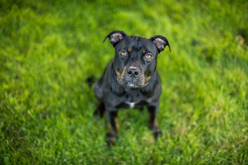 Pitbull preto com olhos do cachorrinho fotografia de stock royalty free