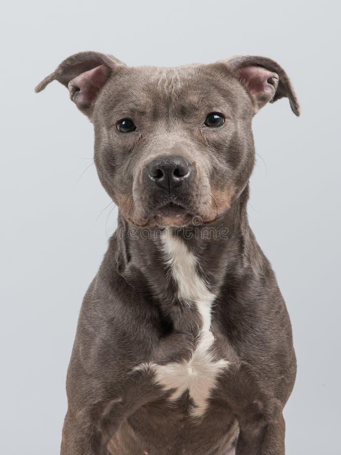 Pitbull psa portret obraz royalty free