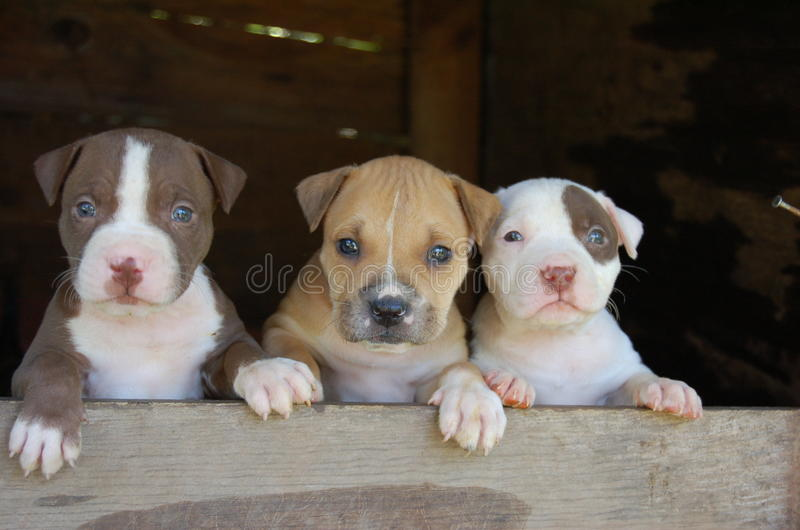 Pitbull puppies. 3 cute pitbull dog breed puppies stock image