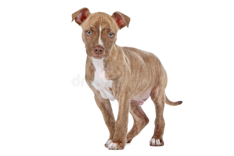 Pitbull puppy. Dog in front of a white background royalty free stock photography