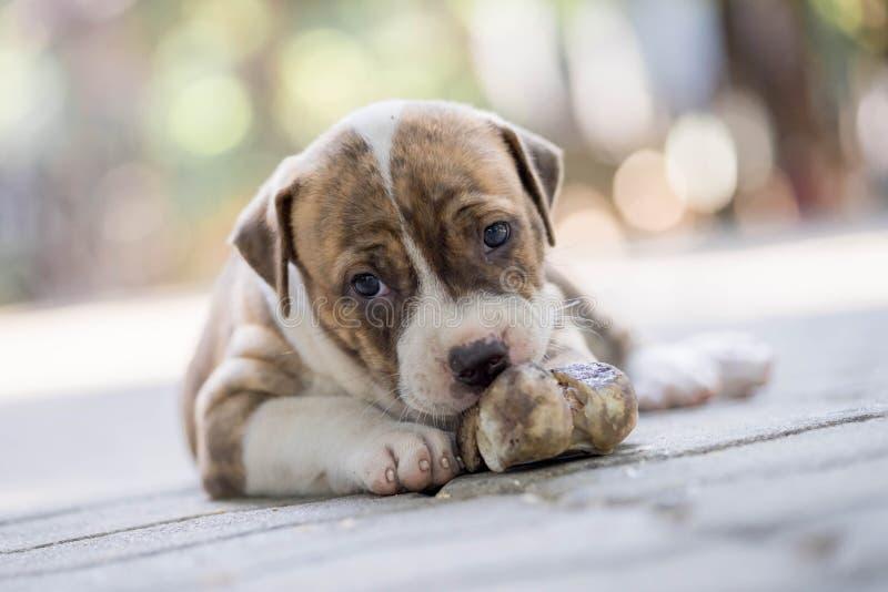 Pitbull puppy dog royalty free stock image