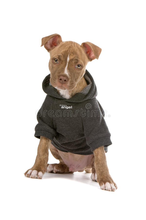 Pitbull puppy dog in jacket. Portrait of red nose pitbull puppy dog in hooded jacket or coat, isolated on white background royalty free stock image
