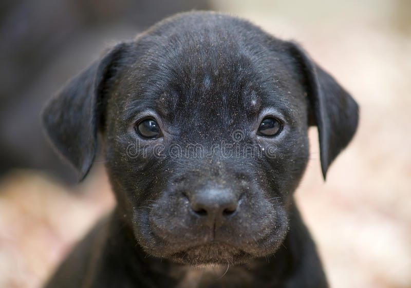 Pitbull Puppy Face Stock Images