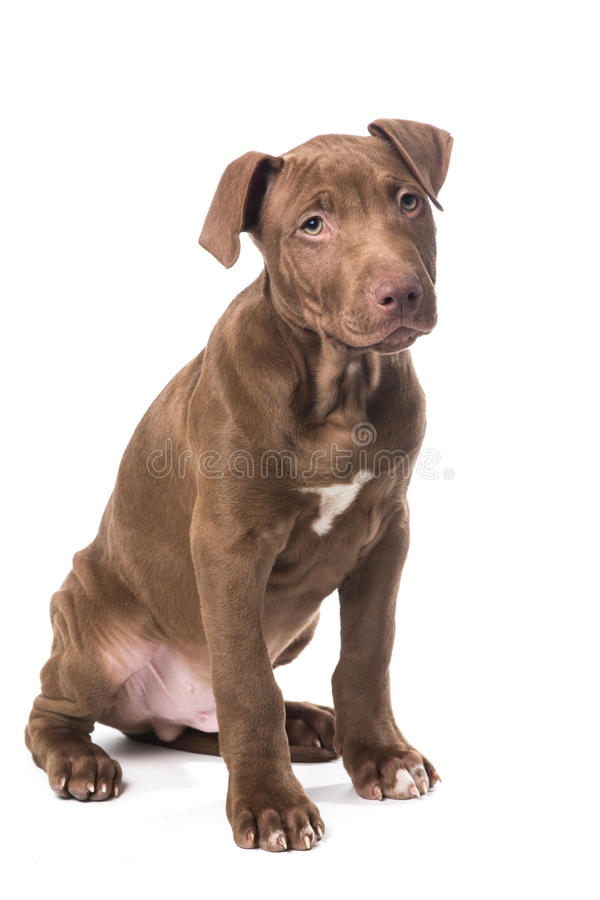Pitbull puppy with sweet face. Sweet looking Pitbull puppy standing isolated on white royalty free stock images