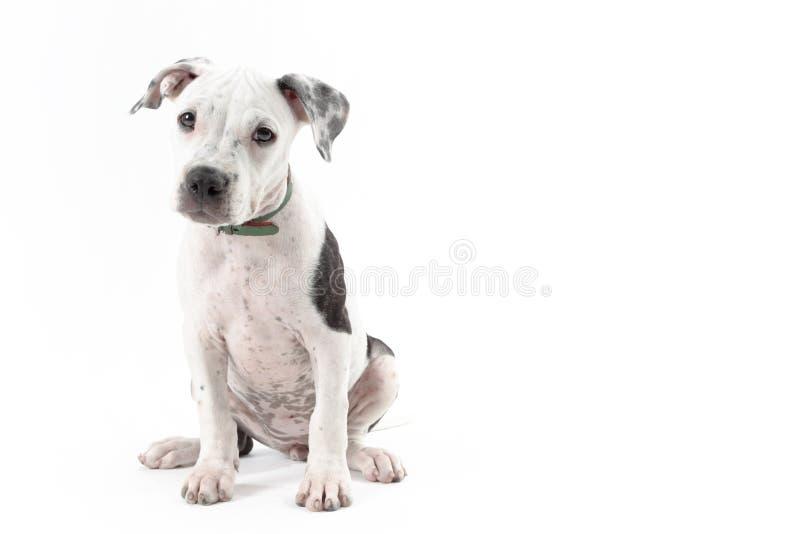 Pitbull pupy imagem de stock