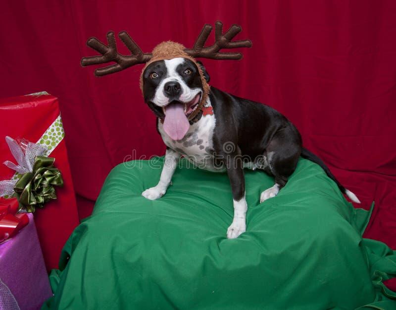 Pitbull Reindeer Holiday Portrait. A pitbull holiday portrait dressed as a reindeer stock photos