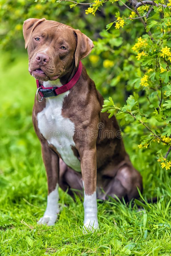 Pitbull Terrier med inte kantjusterade öron arkivfoton