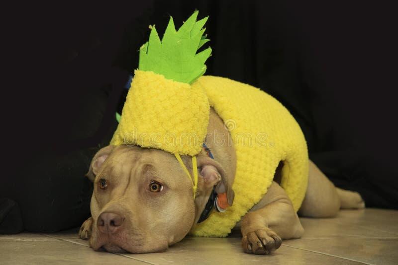Pitbull verkleidete als Ananas lizenzfreie stockbilder