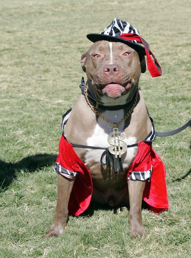 Pitbull vestiu-se acima para Halloween foto de stock royalty free