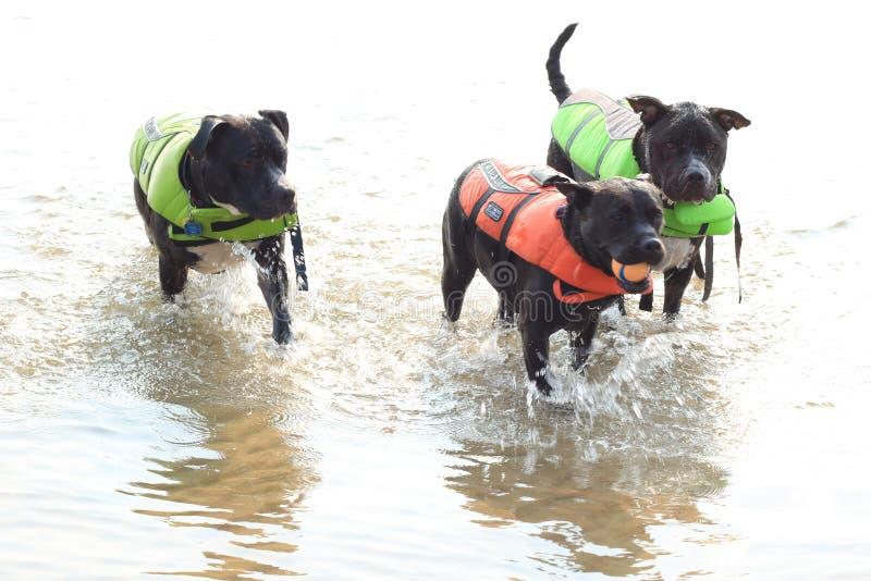 ¡Pitbulls que aman tiempo del agua! imagenes de archivo