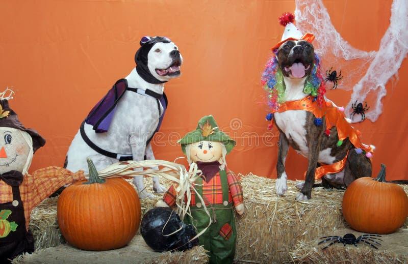 Pitbulls vestiu-se acima para Halloween no estúdio fotografia de stock royalty free