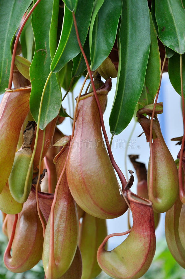 Free Pitcher Plant Stock Photo - 18089800