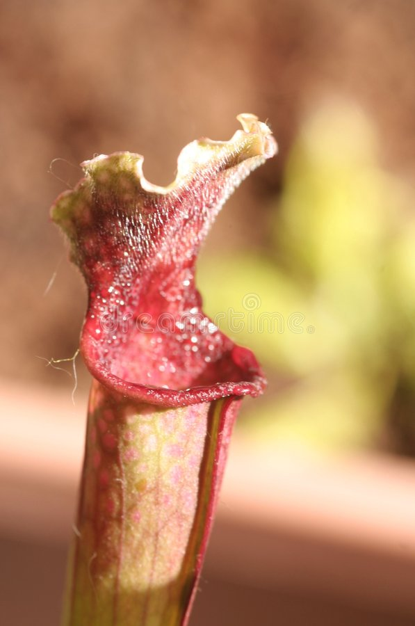 Download Pitcher plant stock photo. Image of carnivorous, meat - 5148482