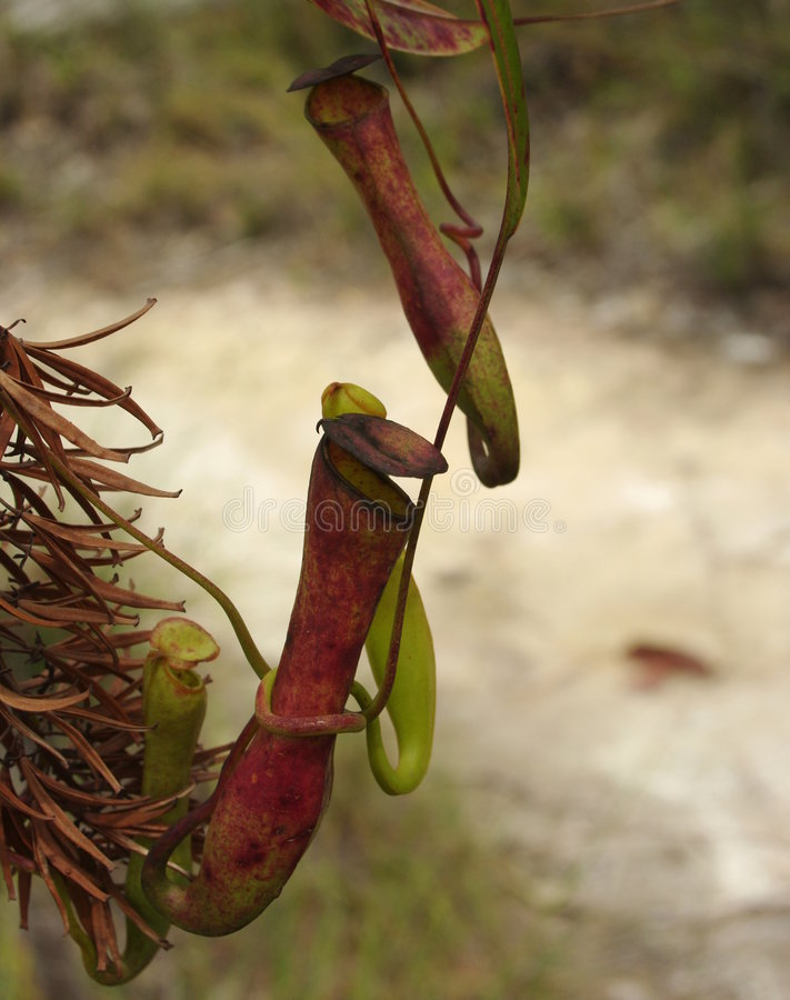Pitcher Plant Royalty Free Stock Image