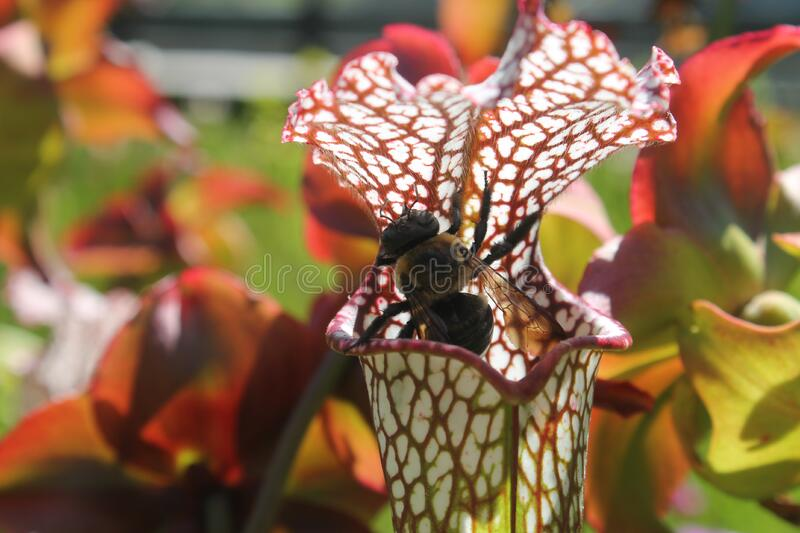 The Pitcher Plant And The Bee Free Public Domain Cc0 Image