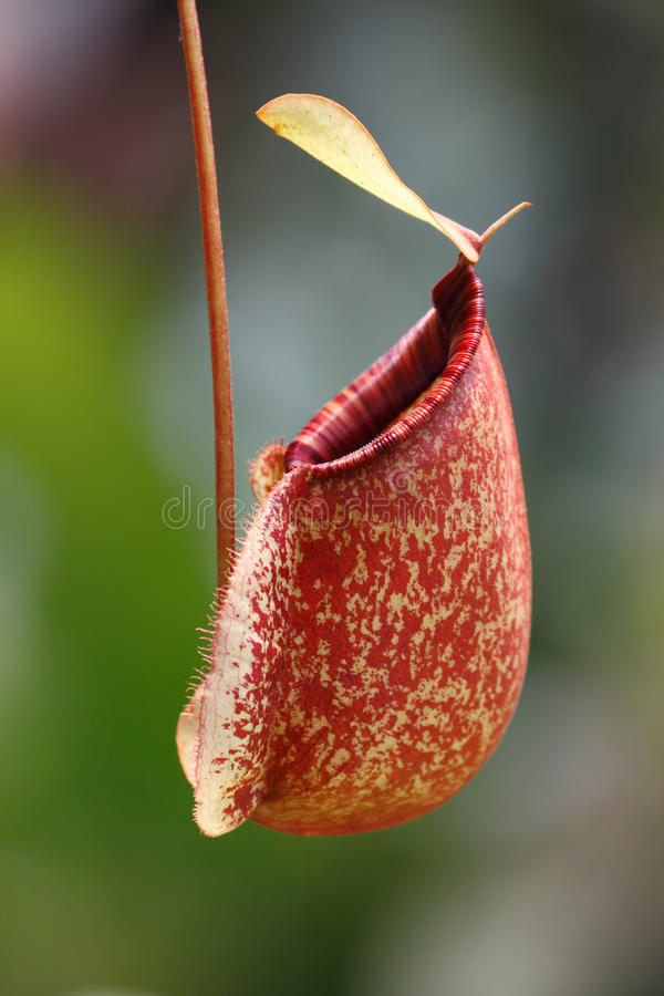 Pitcher plant (Nepenthes ampullaria). Pitcher Plants (Nepenthes ampullaria) the beautiful carnivorous plant (insect eater royalty free stock image