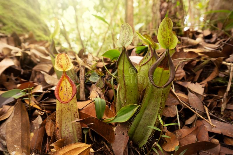 Pitcher Plant Nepenthes mirabilis. At Maliau Basin Conservation Area Sabah Borneo Malaysia royalty free stock photography