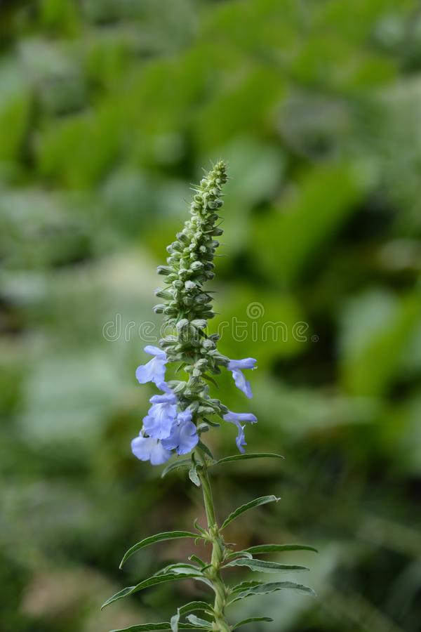 Pitcher sage stock photography