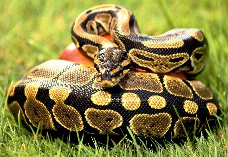 Pitone del serpente fotografia stock
