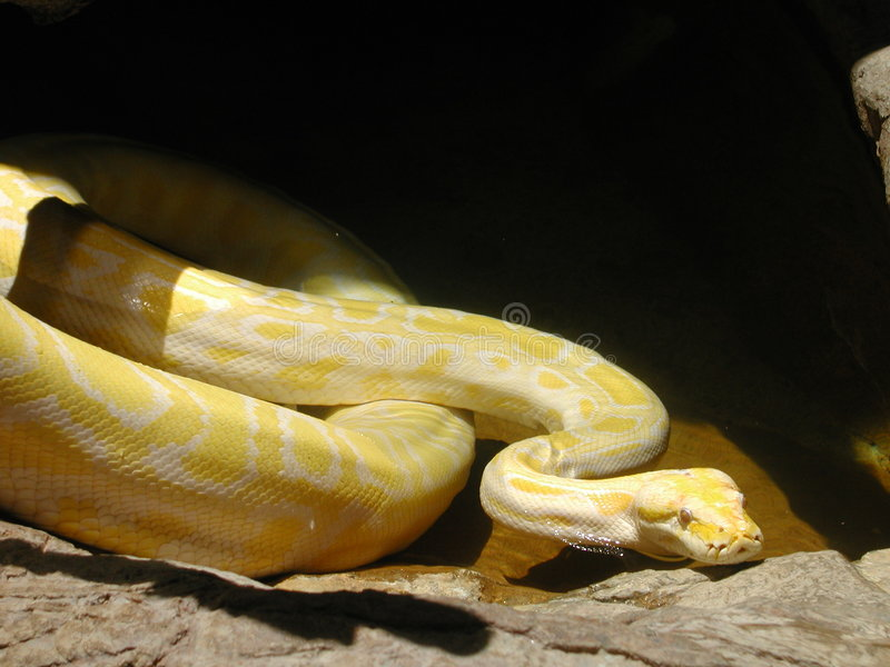 Pitone dell'albino immagine stock