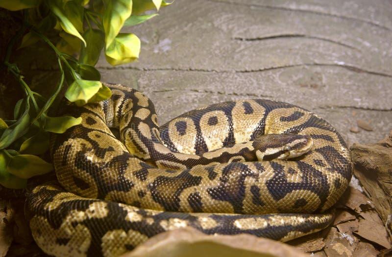 Pitone reale del serpente immagine stock immagine di - Serpente collegare i punti ...