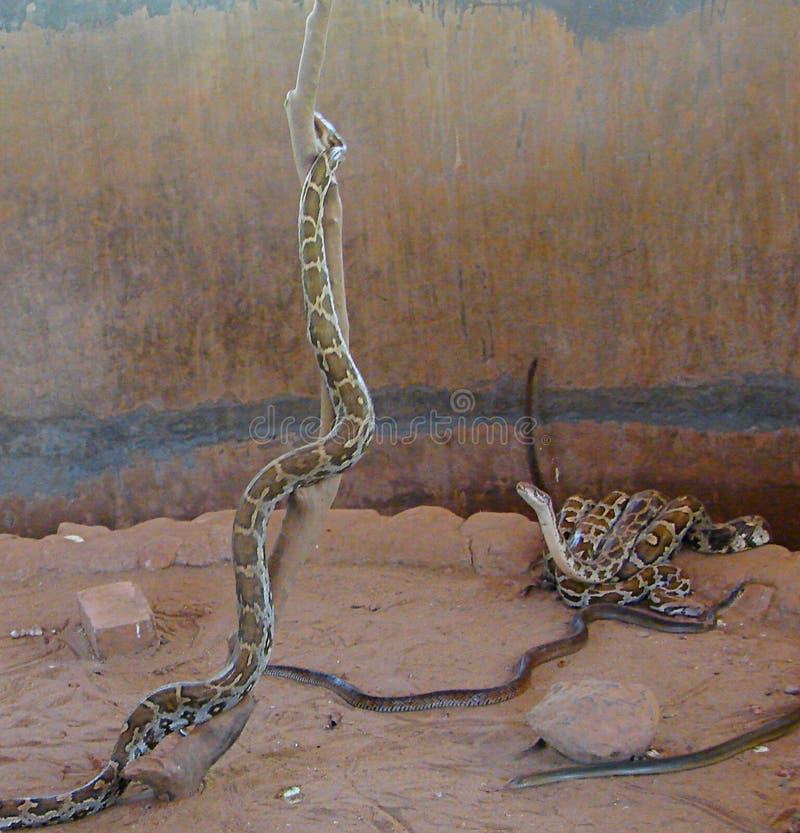 Pitones y serpientes fotografía de archivo libre de regalías