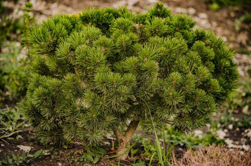 Pitsunda sörjer unga trädet royaltyfri fotografi