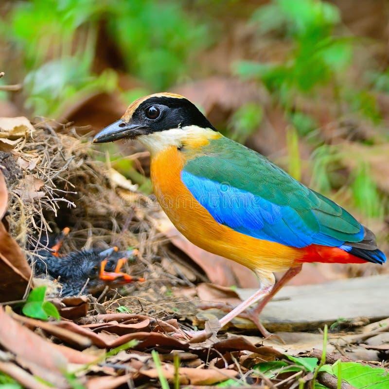 Pitta Azul-voado foto de stock royalty free