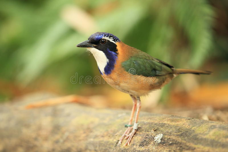 Download Pitta-like ground roller stock image. Image of pittoides - 26011591