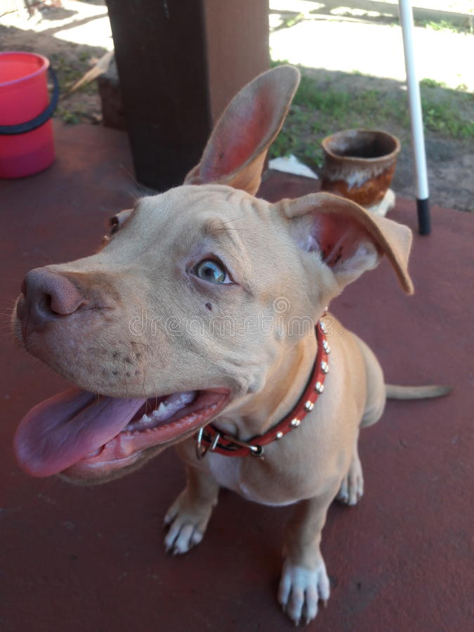 Pittbull pup royalty free stock image