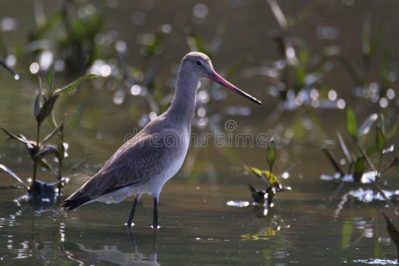 Pittima un grande, trampoliere con effetto a lunga scadenza, con le gambe lunghe e forte migratore del genere di uccello Limosa immagini stock libere da diritti