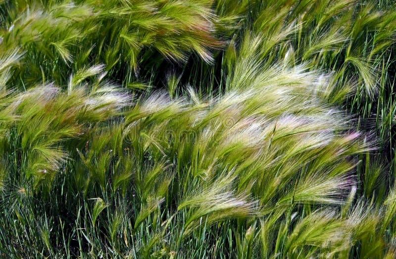 Pittoreskt gräs med en lång skinande hög av korn som är maned med det latinska namnet av Hordeumjubatumen royaltyfria bilder