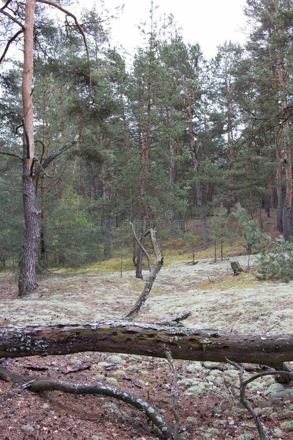 Pittoreskt konstigt ställe som täckas med laven i pinjeskog av Volyn Återstår dikestorkriget SlagfältBrusilov offensiv arkivfoto