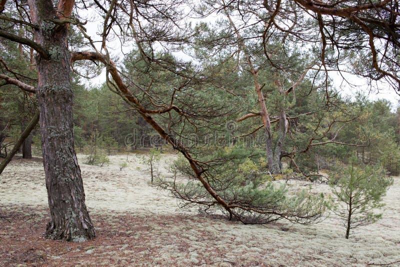 Pittoreskt konstigt ställe som täckas med laven i pinjeskog av Volyn Prydlig filial i förgrunden Vårnatur i Europ royaltyfri fotografi
