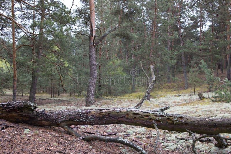 Pittoreskt konstigt ställe som täckas med laven i pinjeskog av Volyn Rest av diken av världskrig ett nuförtiden _ fotografering för bildbyråer