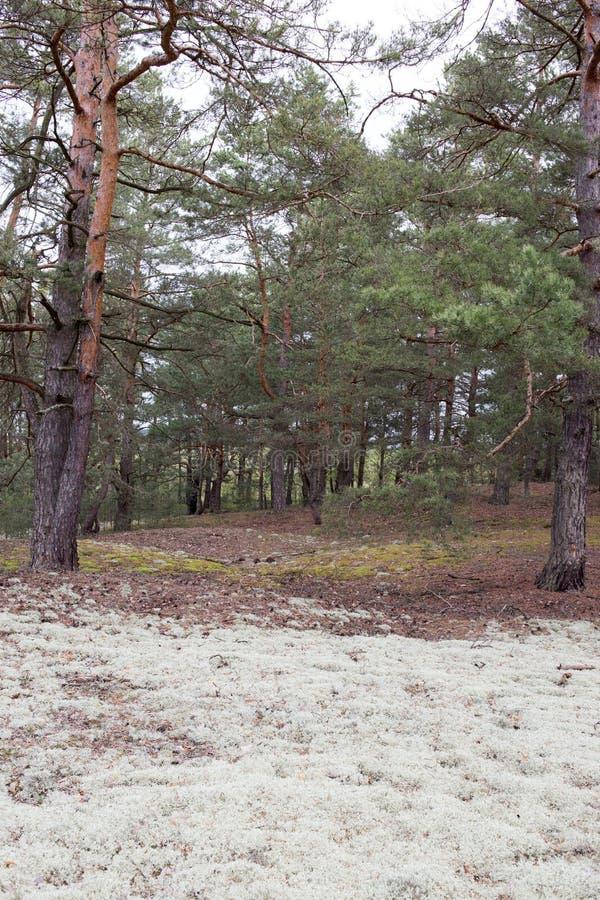 Pittoreskt konstigt ställe som täckas med laven i pinjeskog av Volyn Rest av diken av världskrig ett nuförtiden _ royaltyfri bild