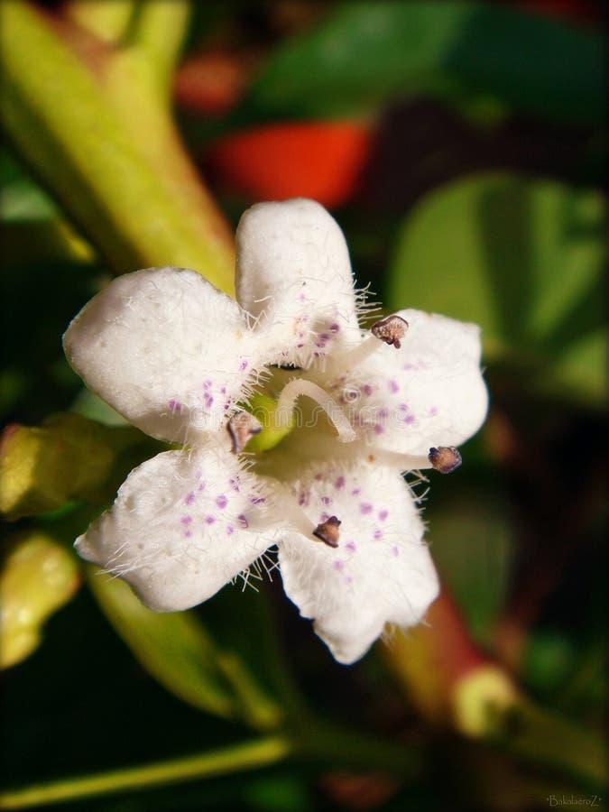 Pittosporum-tobira Makroblume im Blütenhintergrund und Tapeten in den Spitzendrucken der hohen Qualität lizenzfreie stockfotografie