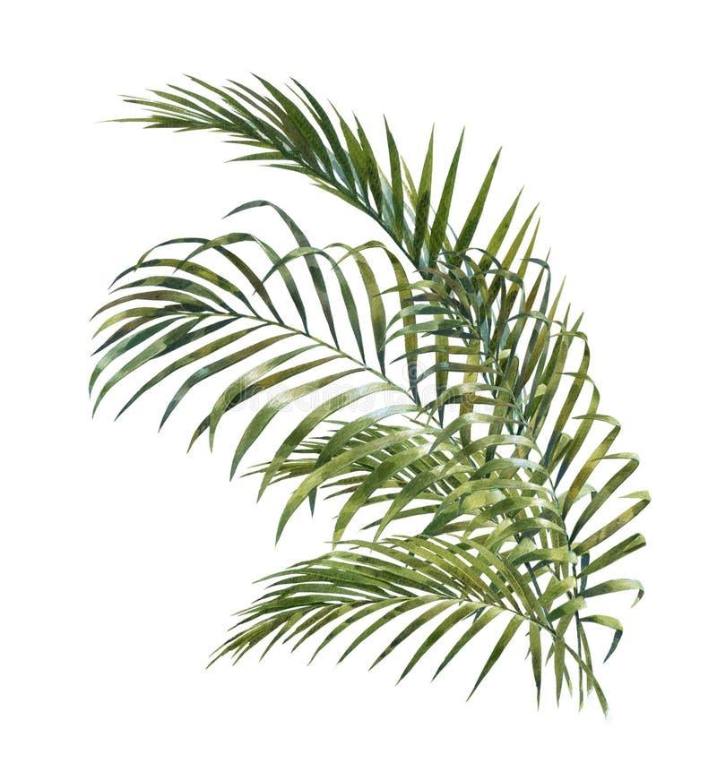 Pittura dell'acquerello delle foglie di palma della noce di cocco illustrazione vettoriale