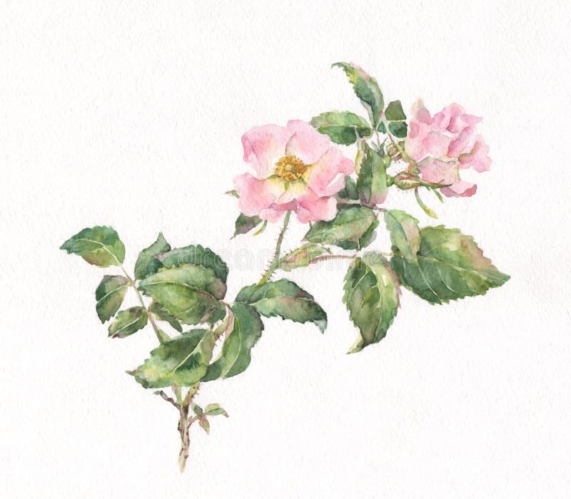 Pittura di rosa selvaggia dell'acquerello illustrazione di stock