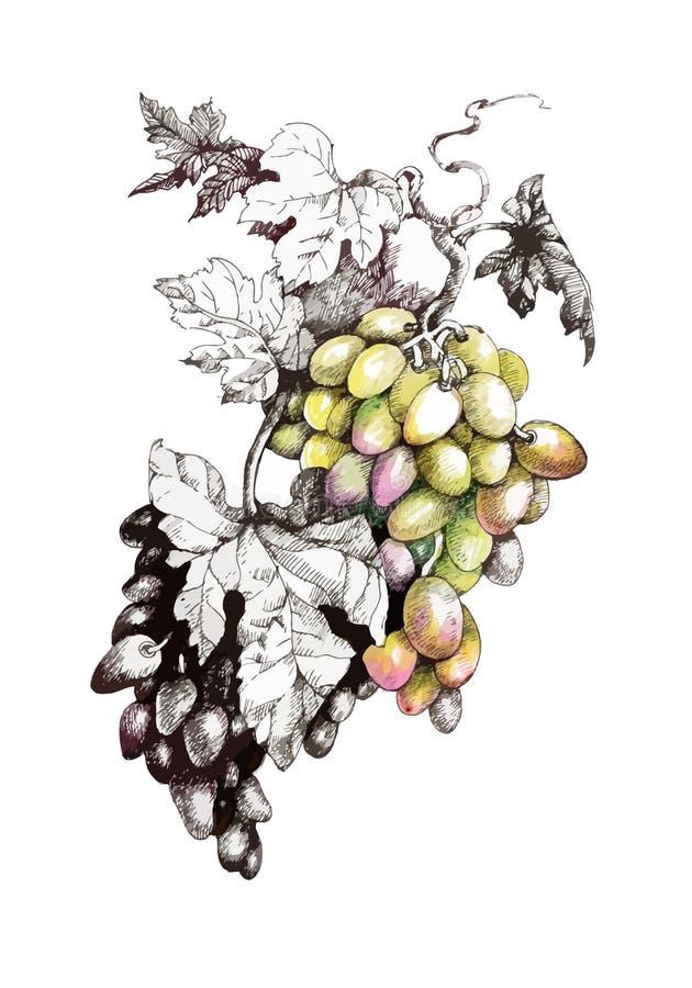 Pittura disegnata a mano con i mazzi variopinti di uva e di foglie su fondo bianco illustrazione vettoriale