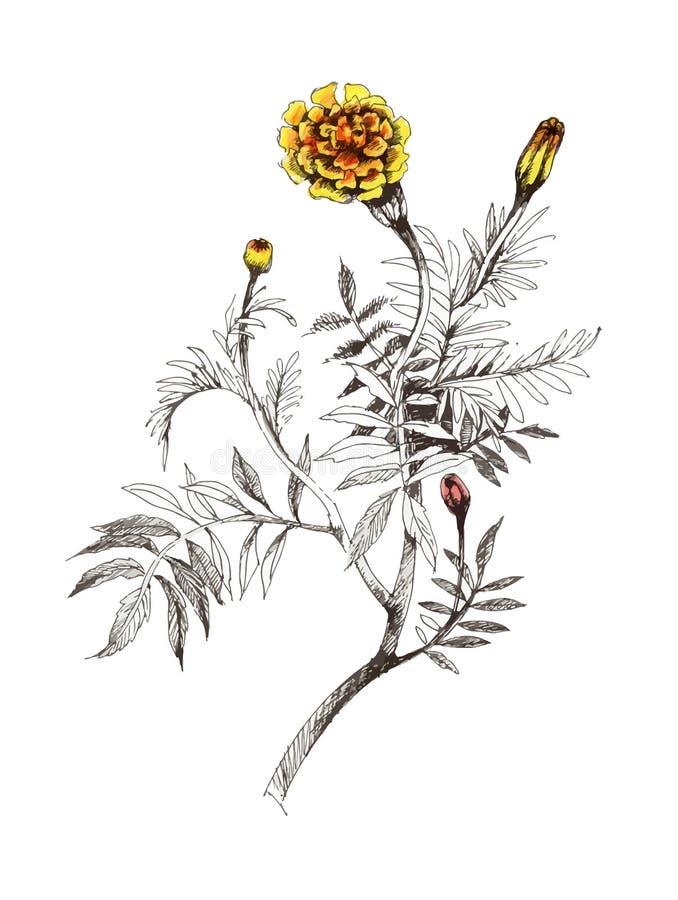 Pittura disegnata a mano dell'acquerello con i tageti arancio su fondo bianco royalty illustrazione gratis