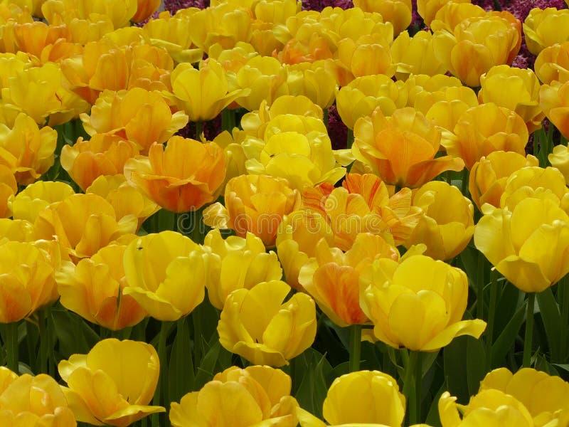 Pitture di aprile dell'Olanda 9 fotografia stock libera da diritti