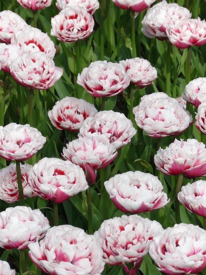 Pitture di aprile dell'Olanda 7 fotografie stock libere da diritti