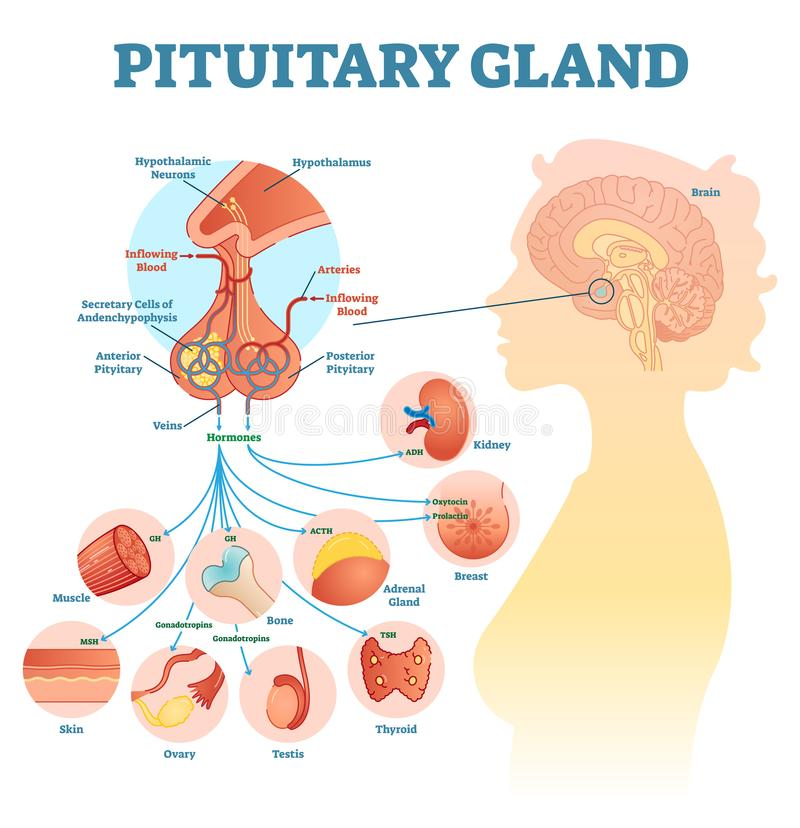 Pituitary gland anatomical vector illustration diagram, educational medical scheme. With brain and hormone types royalty free illustration