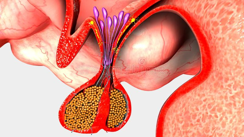 Pituitary Gland. The major endocrine gland, a pea-sized body attached to the base of the brain that is important in controlling growth and development and the royalty free illustration