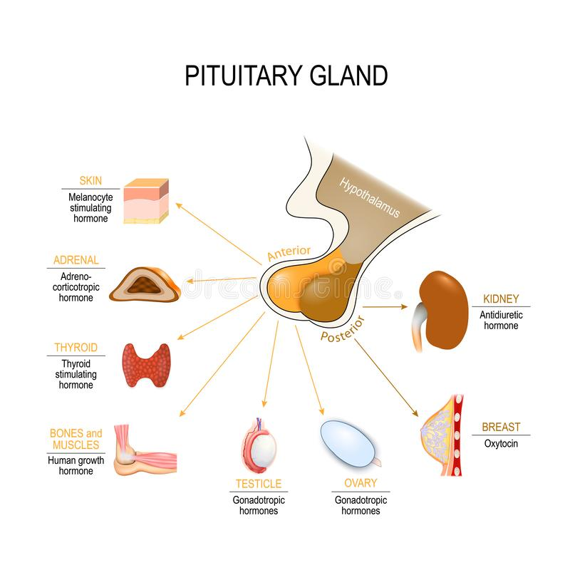 Pituitary hormone. Functions. The two lobes, anterior and posterior, function as independent glands. Vector diagram for educational, medical, biological and vector illustration