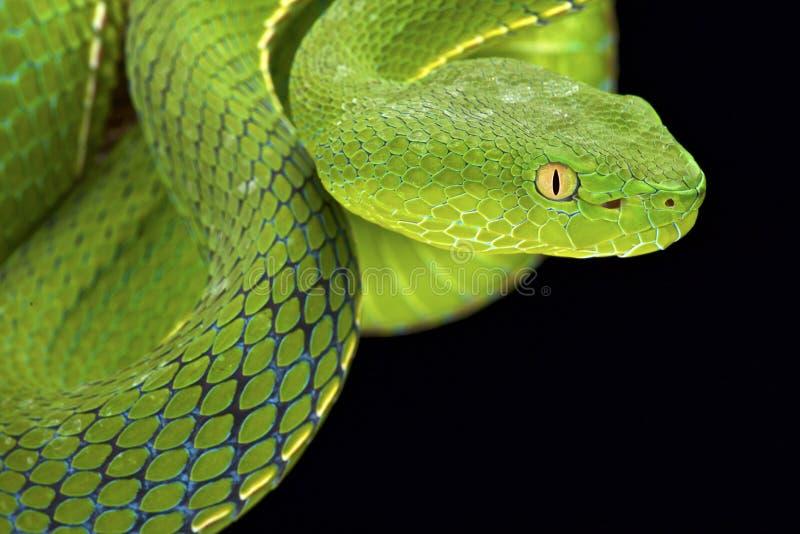 Pitviper Gumprecht зеленое (gumprechti Trimeresurus) стоковые изображения